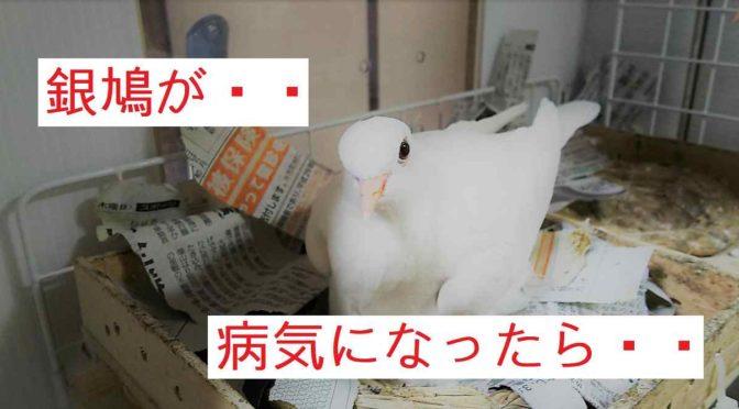 銀鳩が病気になった際の対処方法。