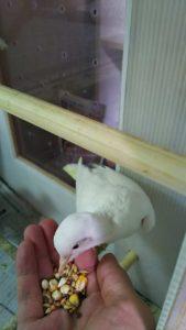 銀鳩,ギンバト