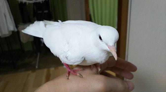 銀鳩を手乗り鳩に育てる方法。