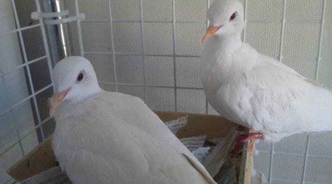 マジシャンの為の銀鳩飼育講座。銀鳩を購入する3つの方法とケージの選び方。